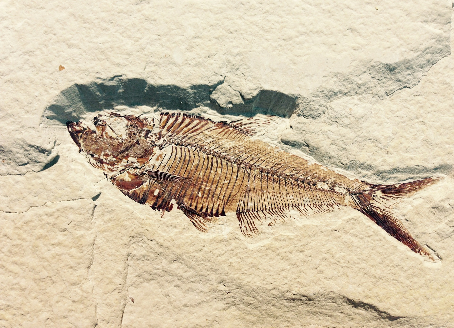 A fossil fish
